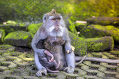 Long Tailed Macaque with her Infant Stock Image