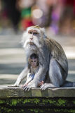 Long Tailed Macaque with her Infant Royalty Free Stock Images