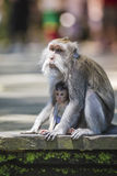 Long Tailed Macaque with her Infant Stock Photos