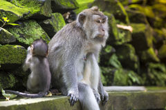 Long Tailed Macaque with her Infant Royalty Free Stock Image