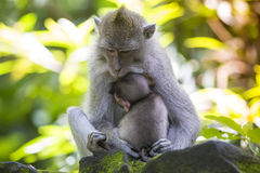 Long Tailed Macaque with her Infant Stock Images
