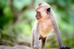 Long tailed macaque Royalty Free Stock Photography