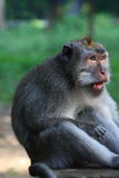 Long tailed macaque looking a bit angry. Long tailed macaque in Monkey Forest Ubud Indonesia Royalty Free Stock Photo