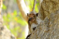 Long-tailed macaque (Macaca fascicularis) Royalty Free Stock Images