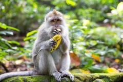Long-tailed macaque (Macaca fascicularis) eating a banana in Sac Stock Image