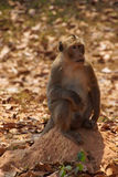 Long tailed macaque Stock Images