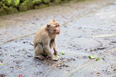 Long-tailed macaque (Macaca fascicularis) in Sacred Monkey Fores Stock Image