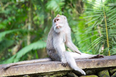 Long-tailed macaque (Macaca fascicularis) in Sacred Monkey Fores Royalty Free Stock Images