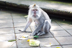 Long-tailed macaque (Macaca fascicularis) in Sacred Monkey Fores Stock Photo