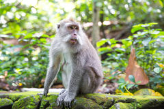 Long-tailed macaque (Macaca fascicularis) in Sacred Monkey Fores Stock Photos