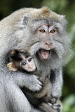 Long-tailed macaque, Macaca fascicularis. Single female with youngster, Indonesia, March 2011 Stock Image