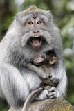 Long-tailed macaque, Macaca fascicularis Royalty Free Stock Photo