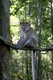 Long-tailed macaque, Macaca fascicularis Stock Images