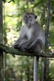 Long-tailed macaque, Macaca fascicularis Stock Photos