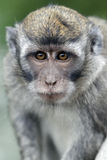 Long-tailed macaque, Macaca fascicularis Stock Photo