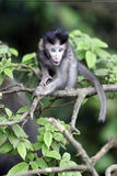 Long-tailed macaque, Macaca fascicularis Royalty Free Stock Image