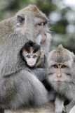Long-tailed macaque, Macaca fascicularis Royalty Free Stock Photos