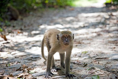 Long-tailed macaque (Macaca fascicularis). Wildlife in Singapore (not in a Zoo royalty free stock photo