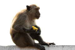 Long tailed macaque male sitting on wall with food Stock Photos