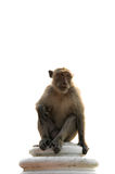 Long tailed macaque male sitting on wall isolated Stock Photography