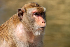 Long-tailed Macaque monkey. Close up face of Long-tailed Macaque or crab-eating monkey stock photo