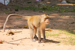 Long-tailed Macaque monkey. Long-tailed Macaque or crab-eating monkey in tropical rain forest park stock images