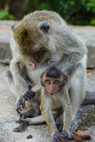 Long Tailed Macaque Monkey Stock Photo