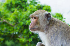 Long Tailed Macaque Monkey Royalty Free Stock Photo