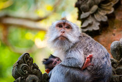 Long-tailed macaque monkey breastfeeding its baby Stock Photo