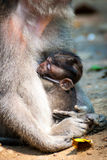 Long-tailed macaque monkey breastfeeding its baby Royalty Free Stock Photo