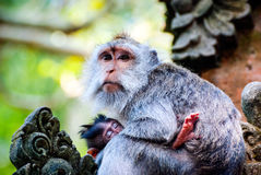 Long-tailed macaque monkey breastfeeding its baby Royalty Free Stock Image