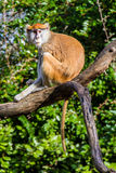 Long-tailed Macaque Monkey Royalty Free Stock Photo
