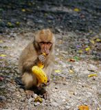 Long-tailed Macaque Monkey eat banana. sitting on the rocks stock images
