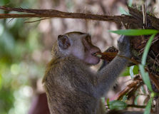 Long tailed macaque monkey eating plant roots in Bako national park in Borneo, Malaysia Stock Photos