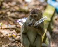 Long tailed macaque monkey eating plastic bag in Bako national park in Borneo, Malaysia Royalty Free Stock Image