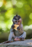 Long-tailed Macaque Monkey stock photography