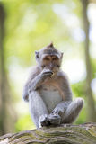 Long-tailed Macaque Monkey Royalty Free Stock Images