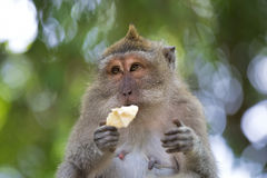 Long-tailed Macaque Monkey Stock Image