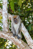Long tailed Macaque Monkey in the jungle Royalty Free Stock Photos