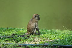 Long-tailed Macaque monkey Royalty Free Stock Photography