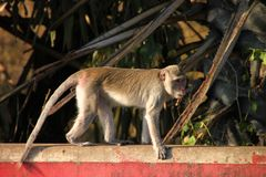 Long-tailed Macaque monkey in rain forest park Stock Photos
