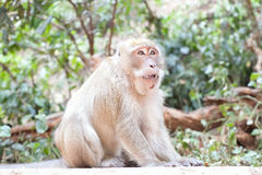 Long-tailed Macaque monkey  thailand Stock Image