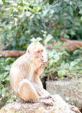 Long-tailed Macaque monkey  thailand Royalty Free Stock Photography
