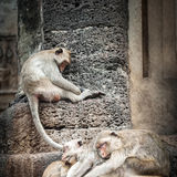 Long tailed macaque monkeys relaxing in Thailand Stock Images