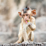 Long tailed macaque monkeys relaxing in Thailand Stock Photo