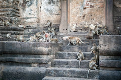 Long tailed macaque monkeys relaxing in Thailand Royalty Free Stock Photo
