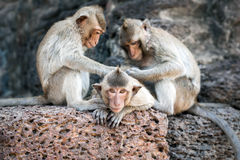 Long tailed macaque monkeys relaxing in Thailand Royalty Free Stock Images