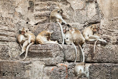 Long tailed macaque monkeys relaxing in Thailand Royalty Free Stock Photography
