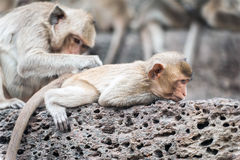 Long tailed macaque monkeys relaxing in Thailand Royalty Free Stock Photos