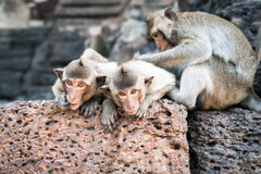 Long tailed macaque monkeys relaxing in Thailand Stock Image